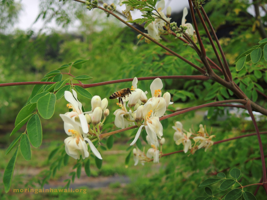 flowers of the moringa oleifra tea with a bee flying