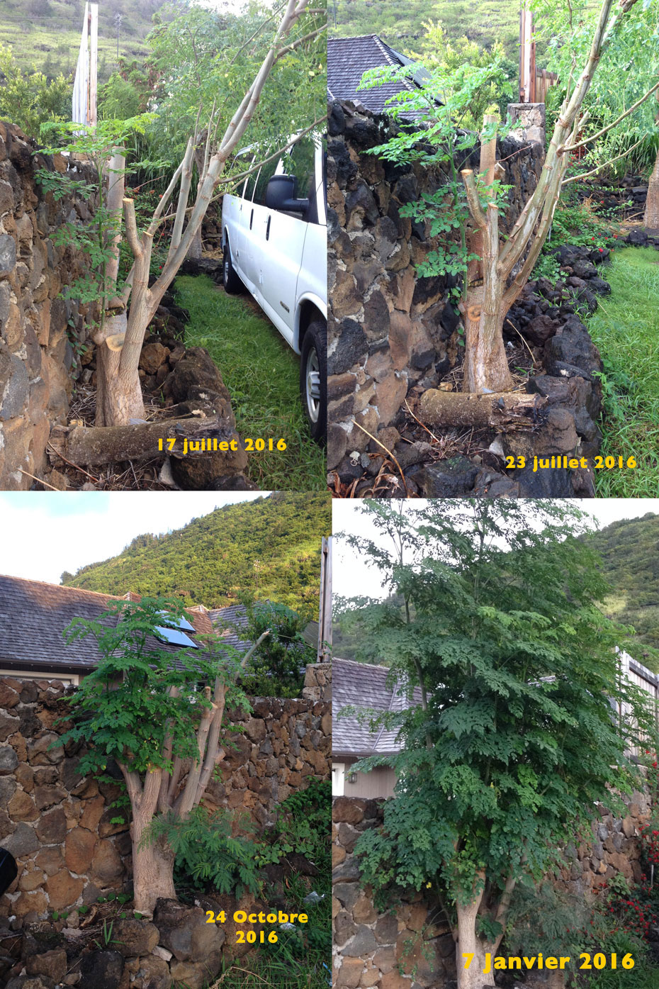 4 pictures in one of stages of regrowth of a Moringa tree within six month