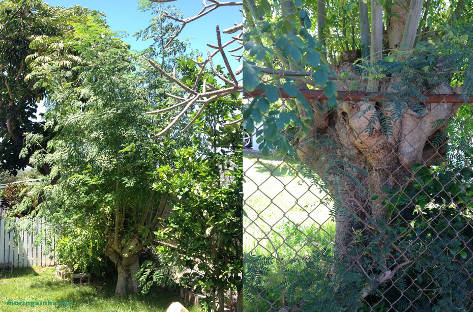 two pictures of the same moringa tree on the North Shore of Oahu