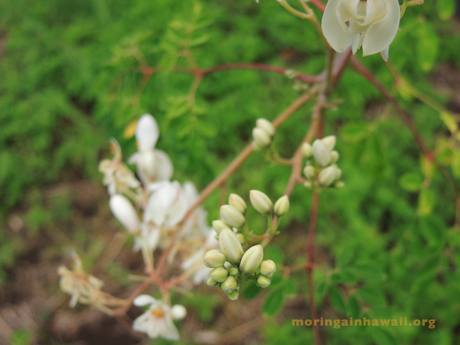 flowers and buds of the moringa oleifra tea