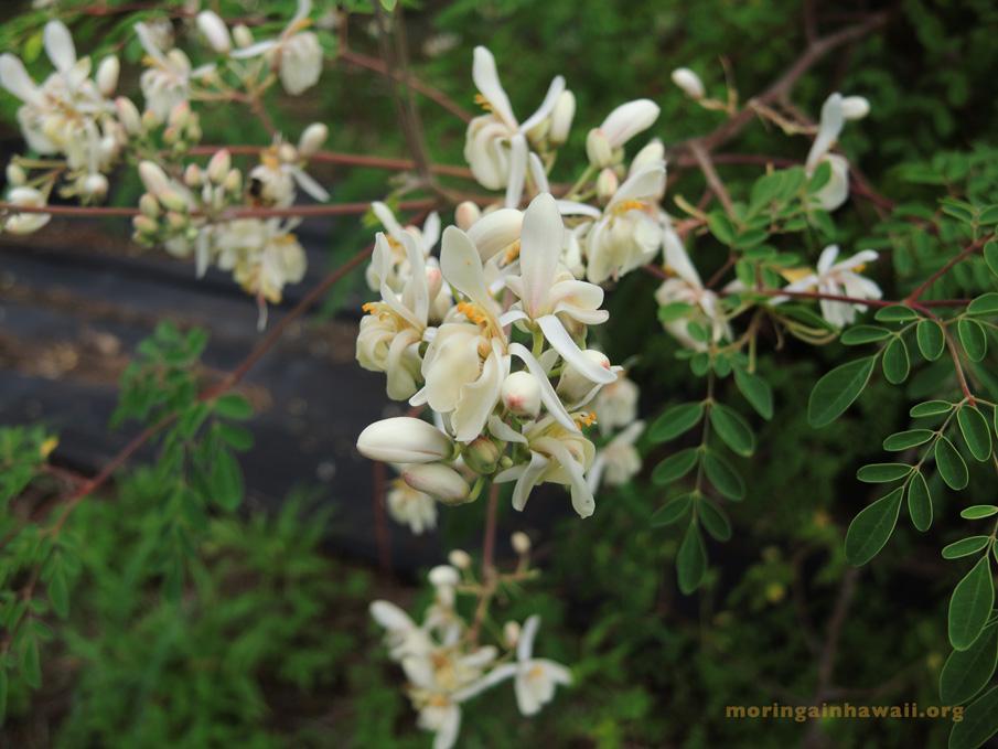 Flowers of the moringa oleifra tea