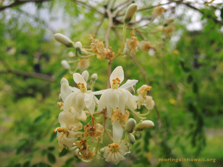 flowers of the moringa oleifra tea