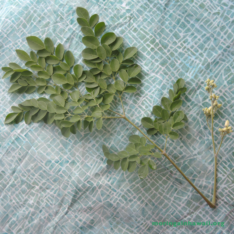 Fresh Moringa oleifera leaf with flower buds