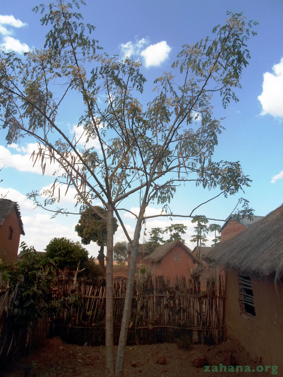 Moringa oleifera tree in Madagascar