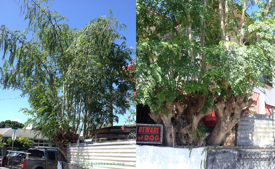 two pictures of the same huge very old moringa tree in Honolulu, Oahu