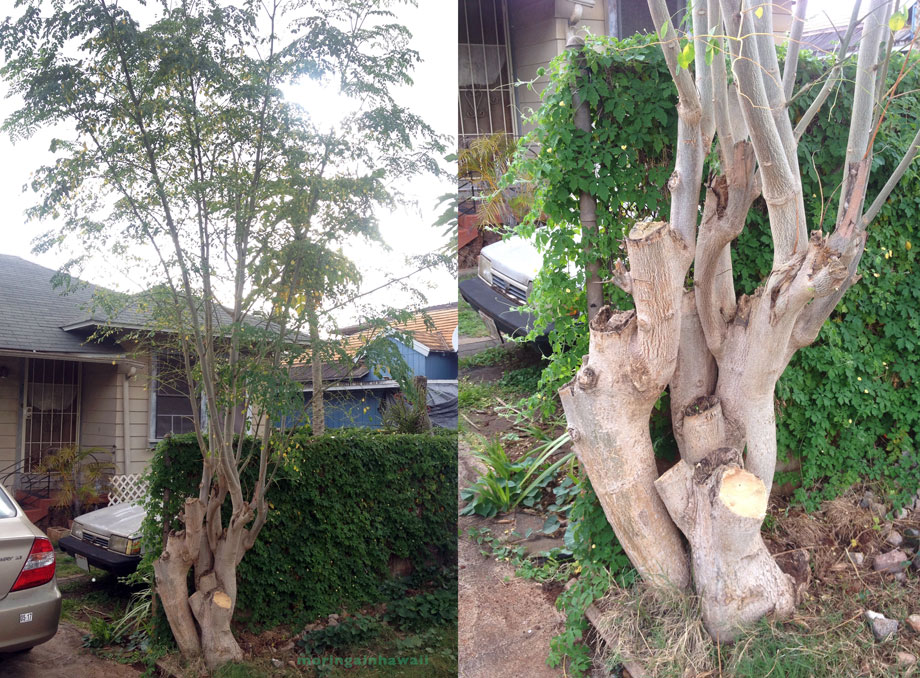 two pictures of the same moringa tree on Oahu