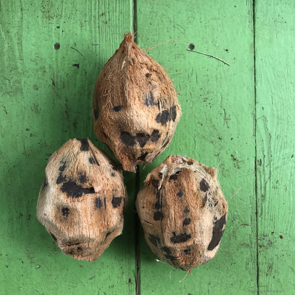 Husked coconuts in Hawaii